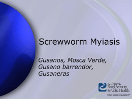 ScrewwormMyiasis